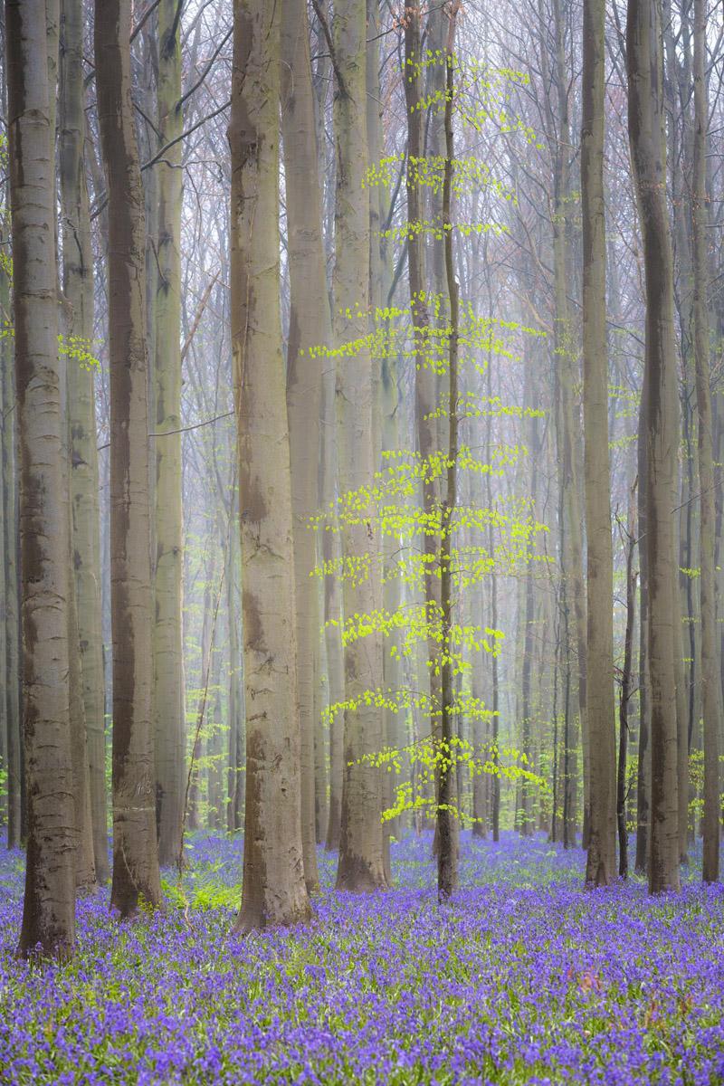 Hallerbos - België - © Dion van den Boom - Fotografie